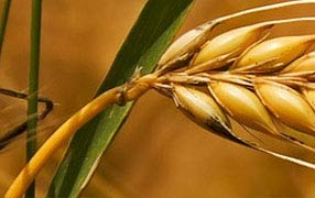 Corn Gluten, Gluten Meal, Exporter Of Gluten Meal, Supplier