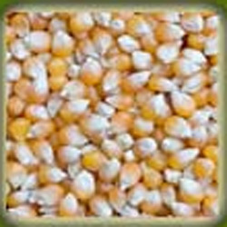 indian yellow maize1